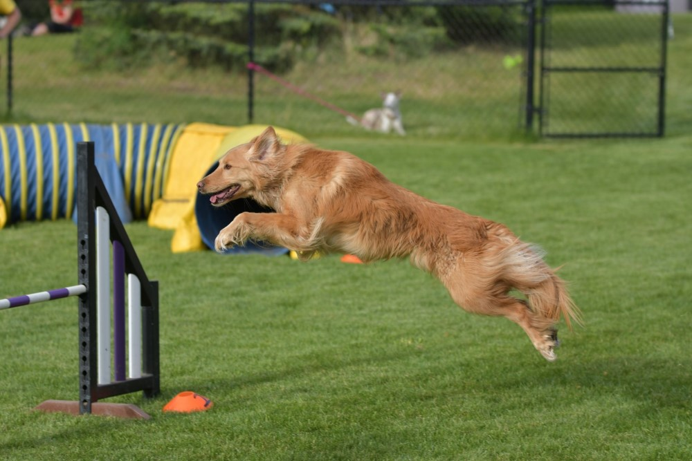A dog jumping over an agility jump in a course, with a tunnel in the background